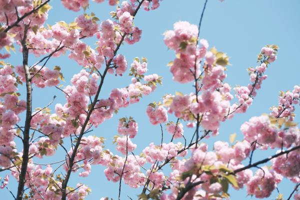 Kirsikankukkia, kuvituskuva